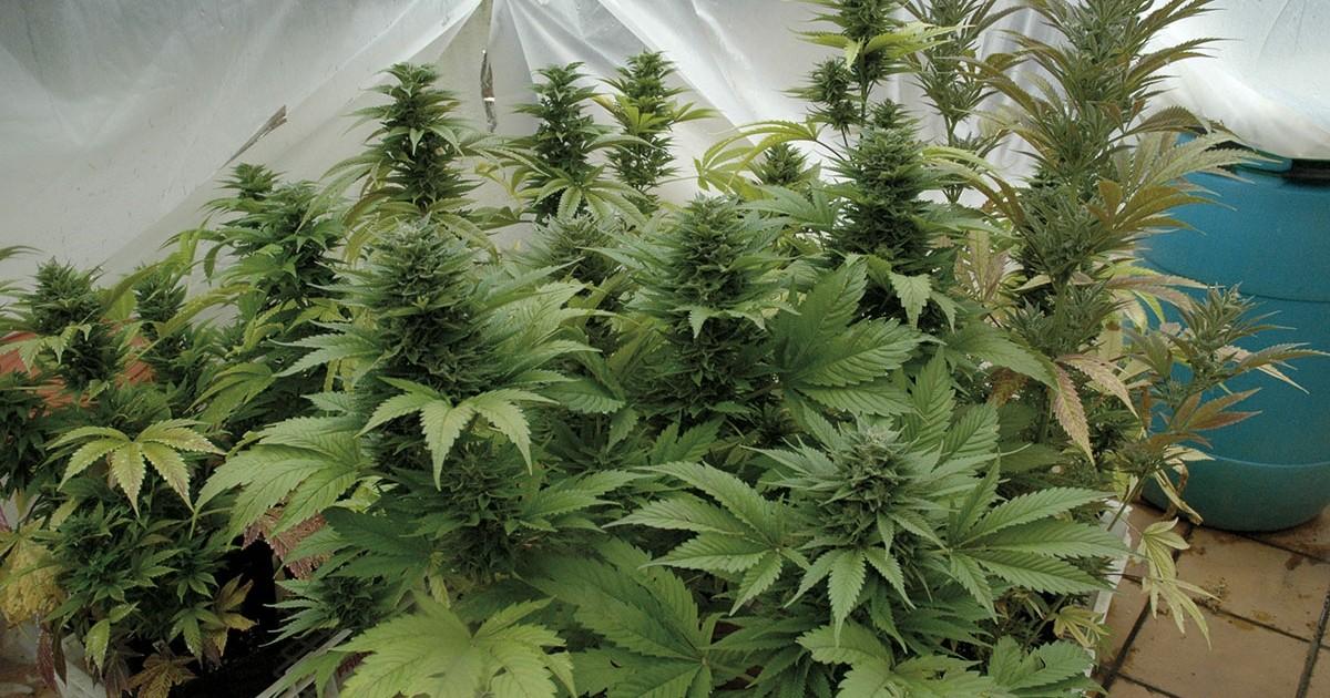 Cannabis, de adentro hacia afuera