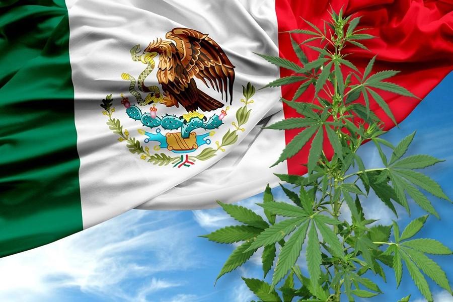 Cáñamo | Sánchez Cordero insiste en que México analizará la legalización de  la marihuana