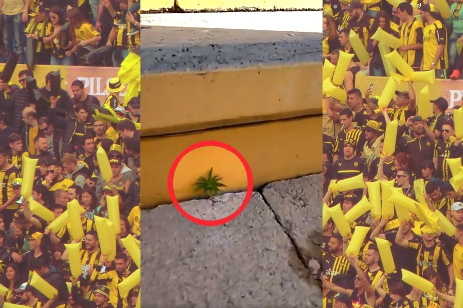 Cáñamo | Una planta de marihuana crece en el estadio del Peñarol