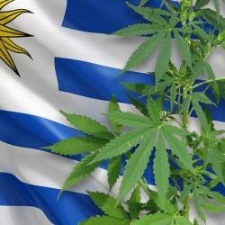 Uruguay: el 55% del cannabis que se vende es legal